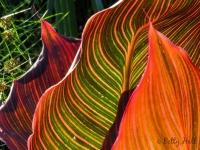 Cana leaves