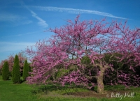 Redbud tree in April