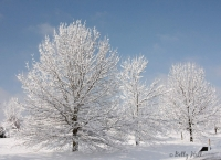 Snow flocked trees