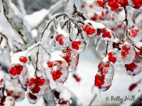 winterberries and ice