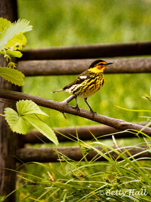 Birds Betty Hall Photography