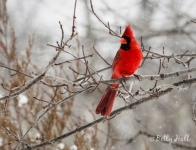 Cardinal on a wintry day