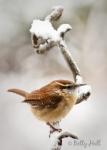 carolina-wren on snowy branch