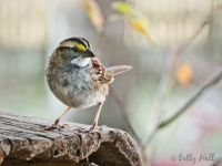 close-up of male white-throated sparrow