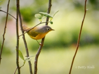 Nashville Warbler - a Kentucky migrant