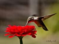 ruby-throated-hummingbird
