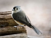 Close-up of Tufted Titmouse