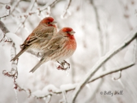 two-house-finches