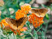 great spangled fritillaries