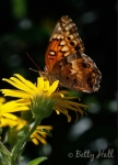 Variegated fritillary on golden aster