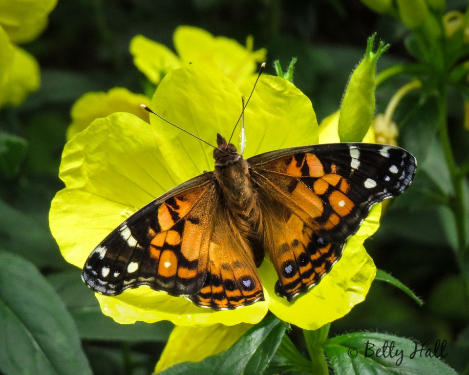 American Lady butterfly on sundrops