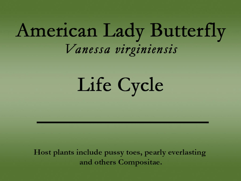 american-lady-title.jpg