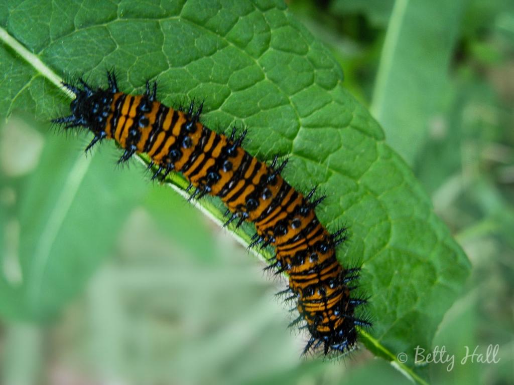 Baltimore Checkerspot butterfly caterpillar