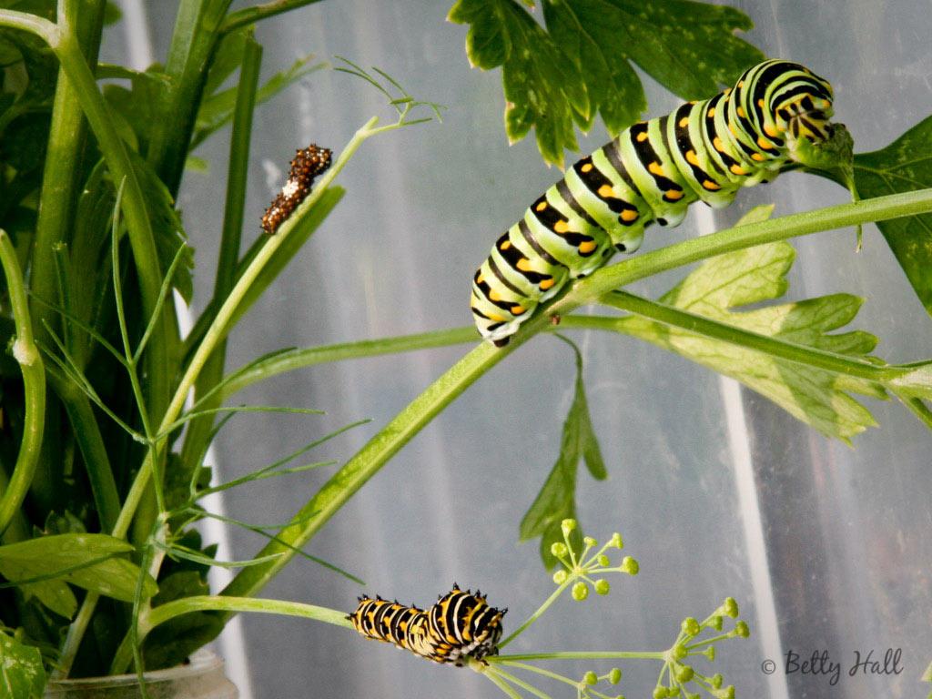 Black Swallowtail butterfly caterpillars