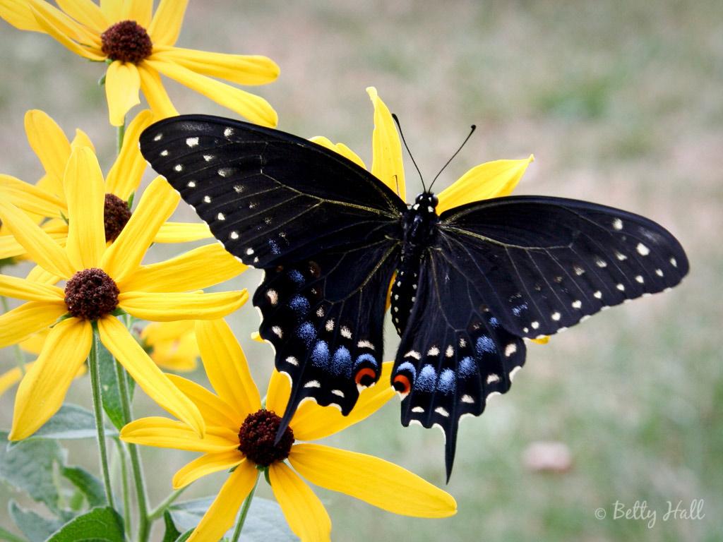 Black Swallowtail butterfly female