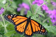 Butterfly Life Cycles