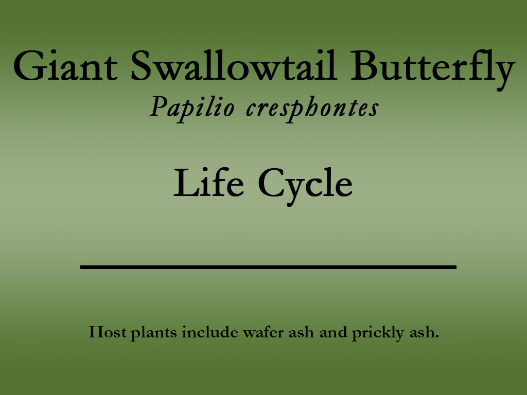 Giant Swallowtail butterfly title