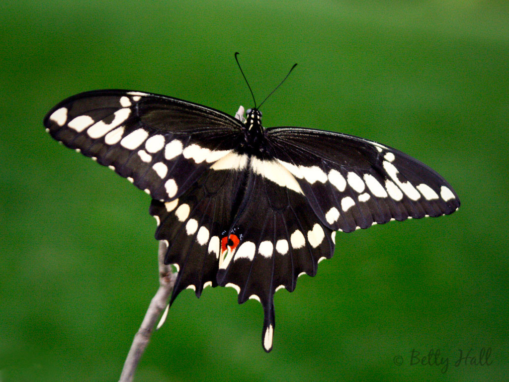 Giant Swallowtail Butterfly Diagram - Online Schematic Diagram •