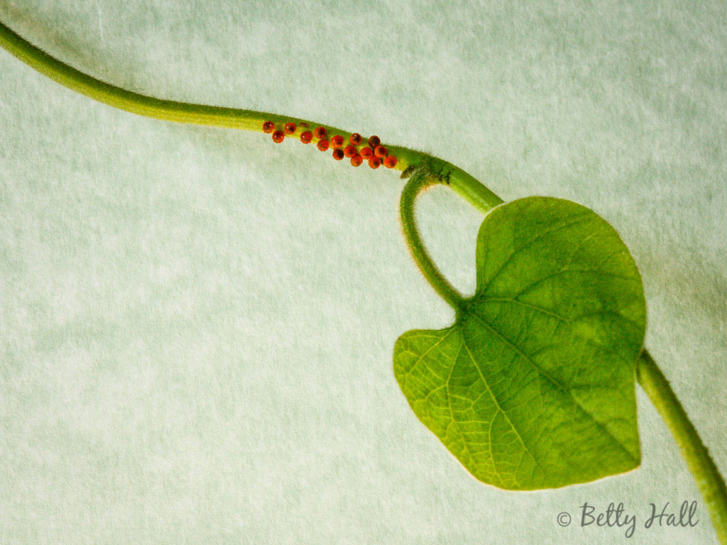 Pipevine Swallowtail butterfly eggs