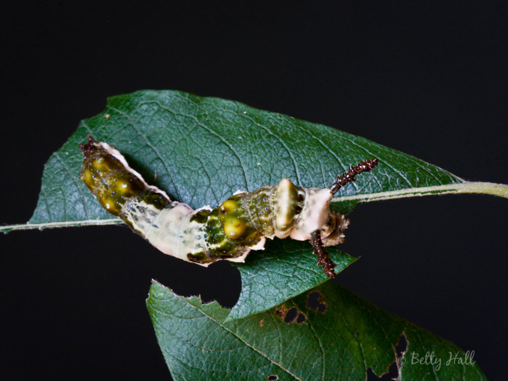 Red-spotted Purple butterfly caterpillar