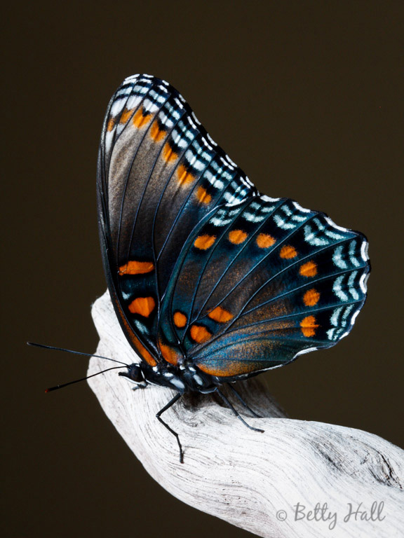 Red-spotted Purple butterfly side view