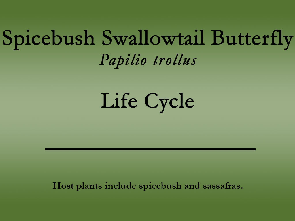 Spicebush Swallowtail butterfly title
