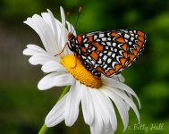 Baltimore Checkerspot butterfly on daisy