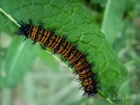 Baltimore Checkerspot butterfly caterpillar