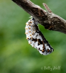 Baltimore Checkerspot butterfly chrysalis