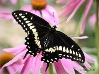 Black Swallowtail butterfly male