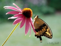 Giant Swallowtail butterfly on Coneflower