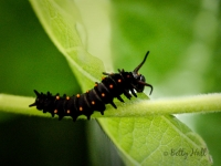 Pipevine Swallowtail butterfly caterpillar