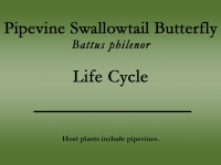 Pipevine Swallowtail butterfly title
