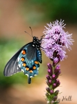 Pipevine Swallowtail butterfly on Blazing Star