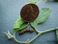Question Mark butterfly caterpillar