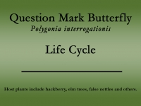 Question Mark butterfly title