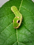 Spicebush Swallowtail butterfly caterpillar