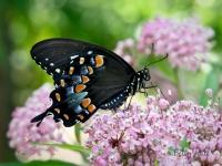 Spicebush Swallowtail butterfly on Swamp Milkweed