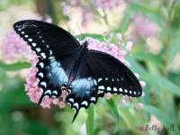 Spicebush Swallowtail butterfly on swamp milkweed