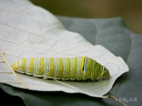 Zebra Swallowtail butterfly caterpillar