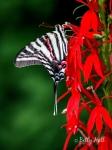 Zebra Swallowtail butterfly on cardinal-flower