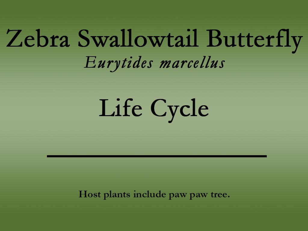 Zebra Swallowtail butterfly title
