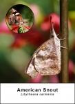 American Snout