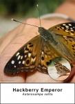 Hackberry Emperor