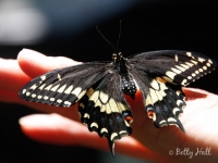 Hand with Black Swallowtail butterfly
