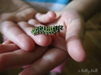 Small Black Swallowtail caterpillar