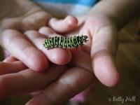 Small Black Swallowtail caterpillar