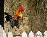 Rooster at Shaker Village