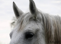 Shaker Village horse close-up