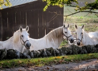 Three horses at Shaker Village
